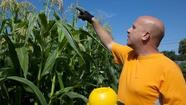 Homegrown polenta? Floriani corn plants deliver 'amazing flavor'