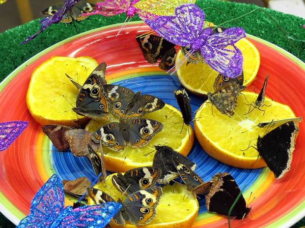 Buckeye, Painted Lady and Morning Cloak butterflies snack on orange slices in the walk-in butterfly exhibit from Folk's Butterfly Farm.