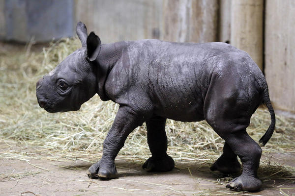An Eastern black rhinoceros calf at the Lincoln Park Zoo.