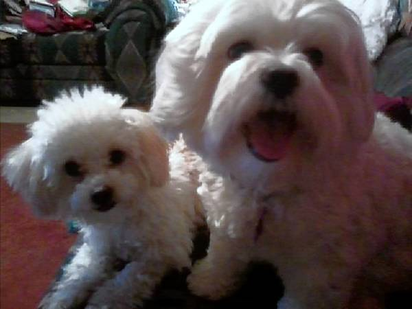 Boo and Lula, a Shih Tzu Mix and a Maltese, are owned and loved by Connie Sharesky of Allentown.