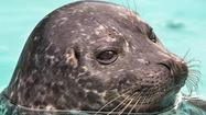 Daily Deal: Long Beach aquarium free for seniors; baby seal is priceless