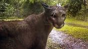 Never-seen-before video of the Florida panther in the wild
