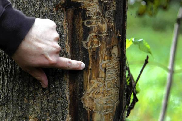 Libertyville officials are hoping to remove 300 infected ash trees this year. Here, Mark Speckan, forestry crew chief for the Lake County Forest Preserve, points out evidence of an Emerald Ash Borer on an ash tree at the Sedge Meadow Forest Preserve near Wadsworth in 2011.