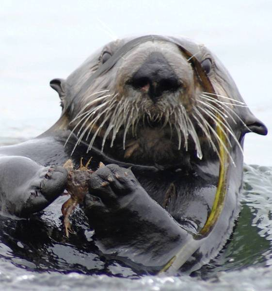 A sea otter in Elkhorn Slough in Monterey Bay holds a crab. Recolonization of the area by the otters has led to the recovery of sea grass beds.