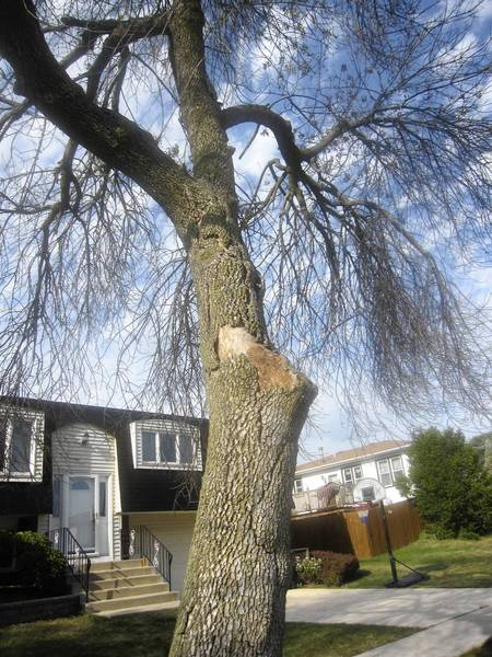 A tree damaged by emerald ash borer stands on 161st Street., west of 76th Avenue, in Tinley Park. The village will soon award a contract to begin removing trees affected by the beetle.