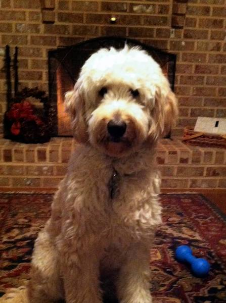 Utley, a 15 month old goldendoodle, owned by Mike and Val Sharkazy of Northampton