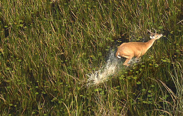 A white-tailed deer buck runs through the marsh at Loxahatchee National Wildlife Refugee in Palm Beach County.