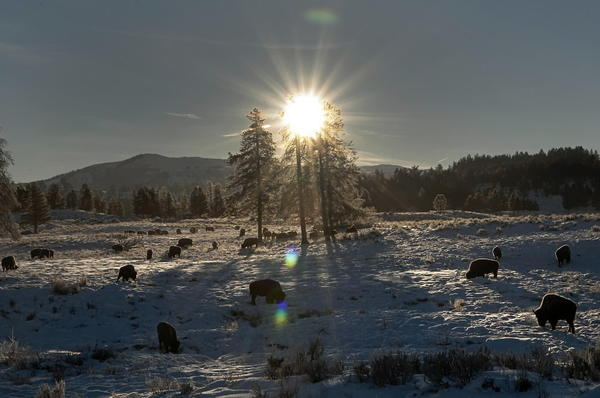 A herd of bison graze in a meadow near Tower Junction in Yellowstone National Park.