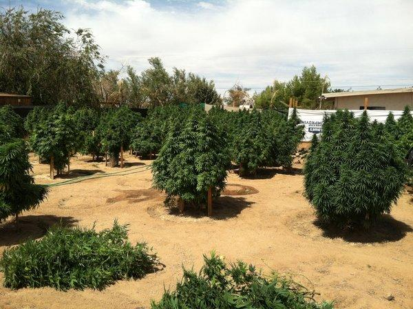Deputies in Apple Valley seized pot plants, some of them eight-feet tall, authorities said.