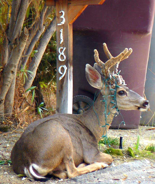 A deer with a string of Christmas lights wrapped around his antlers takes a break from the heat on Friday, August 30, 2013.
