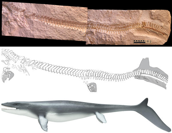 Ancient marine reptiles called mosasaurs had streamlined bodies and crescent-shaped tails, suggesting they were speedy swimmers that chased their prey much like modern-day sharks, according to new research.