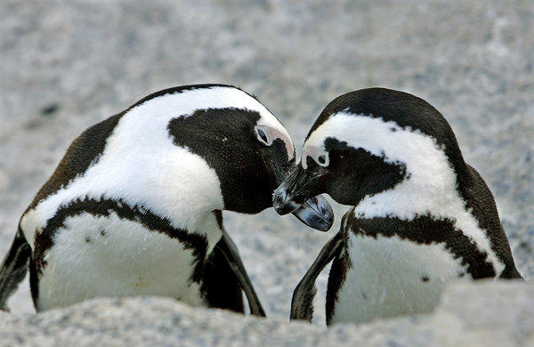 African penguins nuzzle outside Simon's Town in Table Mountain National Park near Cape Town, South Africa.