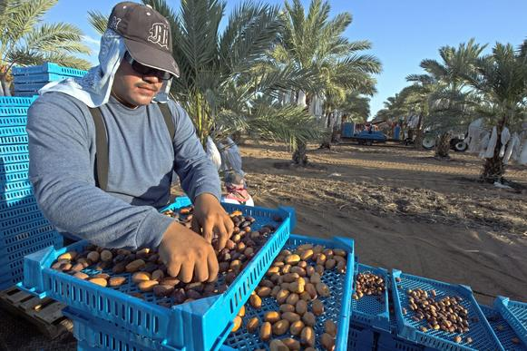 Worker sorts through a tray of freshly harvested Medjool dates at a 2,700-acre planting farmed by Imperial Date Gardens in Yuma, Ariz.
