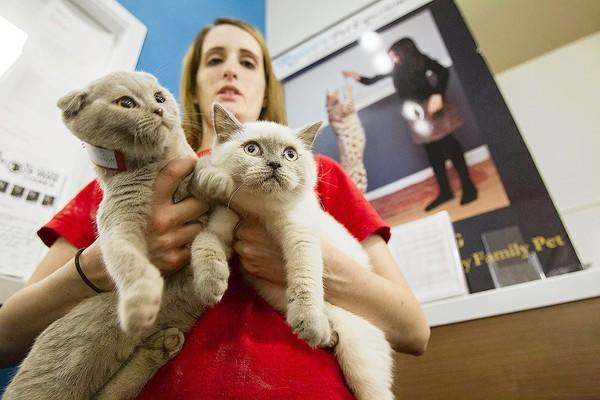 Shawna Masters, a manager at Russo's Pet Experience, holds two 4-month-old Scottish Folds, who went missing Saturday and were found behind the cash register Tuesday. The cat on the left is worth $1,800 and the cat on the right is worth $1,500.