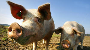 Virginia health officials: Be wary of pigs and H3N2v virus