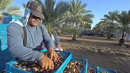Farmers Markets: Medjool date line moves east into Arizona