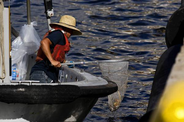 A cleanup worker skims water in Honolulu Harbor where a molasses spill killed many fish. People were warned to stay out of the water because the dead fish might attract sharks and other predators.