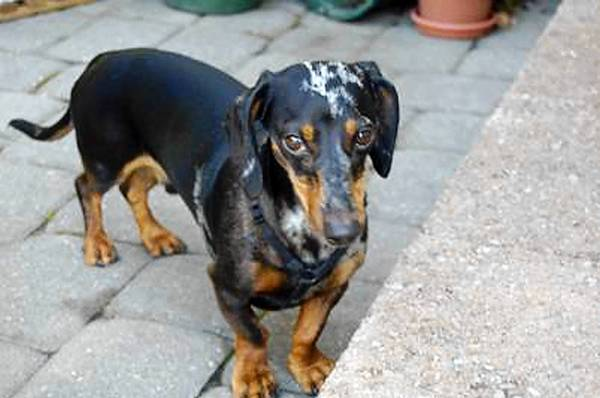This female Dachshund bit the family's 16-month-old son.