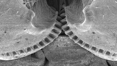 Researchers find gears in nature - on planthopper insects