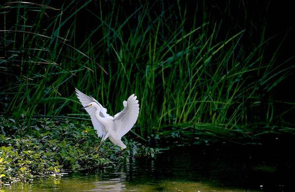 An egret lands amid the vegetation in the Glendale Narrows area of the Los Angeles River. The Army Corps of Engineers has recommended a $453-million plan that would restore an 11-mile stretch of the river but leave much of its banks steep and hard to reach, disappointing advocates who hoped for a more ambitious alternative that would allow more public access.