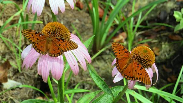 A pair of Gulf fritillaries on Echinacea flowers.