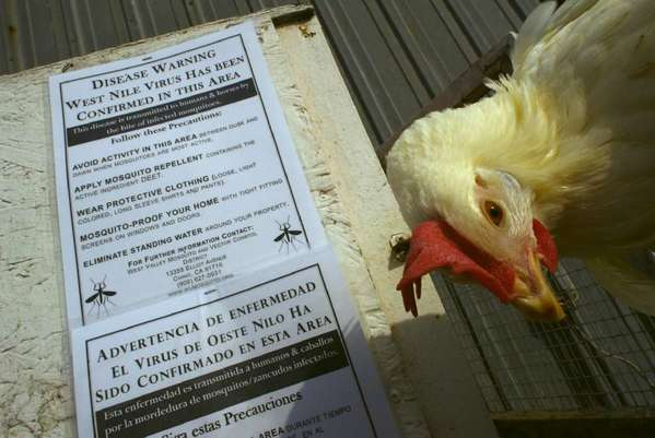 "A West Nile virus-infected chicken from a coop placed on a dairy farm in Ontario in 2005. Recent cases of the virus in chicken flocks in San Gabriel Valley have vector control officials ""very concerned."""