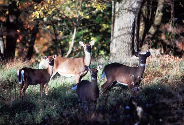 Archery antlerless deer sason will begin Saturday in Wildlife Unit 5C, which covers the majority of Lehigh and Northampton counties.