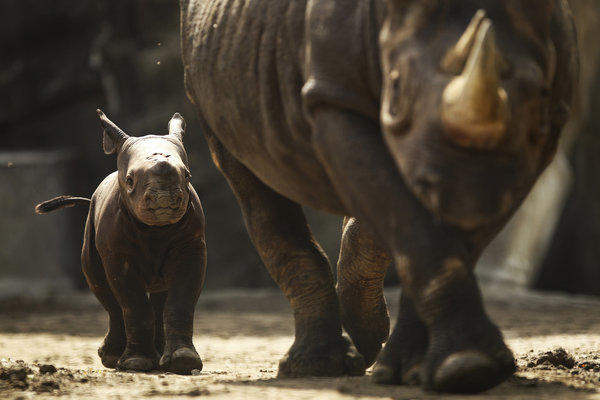 """King"" the baby rhino follows his mom, Kapuki around their enclosure for the first time at Lincoln Park Zoo on Tuesday. ""King"" was named after King and Caryn Harris, long time friends of the zoo."