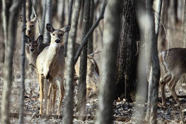 A herd of deer in the McKinley Woods Forest Preserve in Channahon, Ill., in 2010. Will County Forest Preserve commissioners approved plans for a deer culling program at seven preserves, including McKinley Woods, on Sept. 12, 2013.