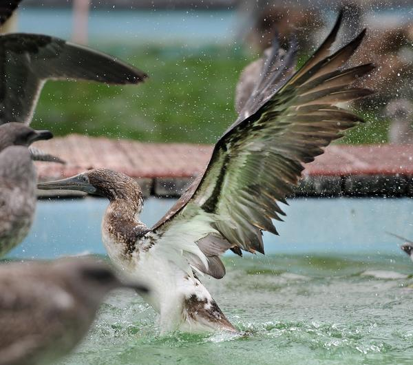 A blue-footed booby hangs out at the International Bird Rescue Center in San Pedro, where it was taken after being found waddling along a sidewalk near 2nd and West Slauson avenues near downtown Los Angeles.