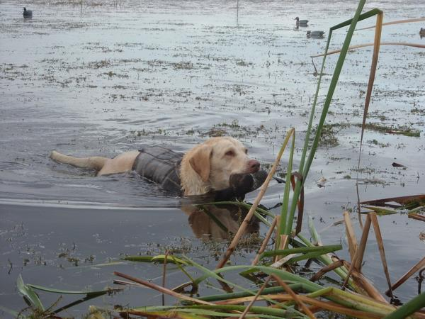 Drake, a yellow Lab, retrieves a blue-winged teal.