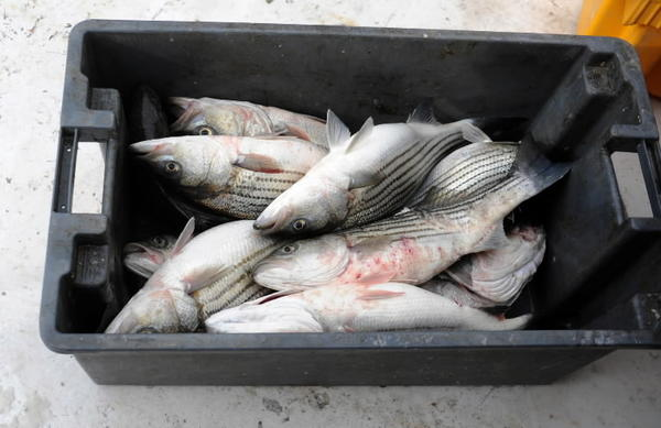 Federal prosecutors say Tilghman Island man charged with trying to manipulate witness testimony in investigation of alleged poaching of striped bass.