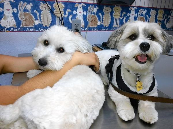 Monte, left, is shown in the veterinarian's examination room after suffering a case of pot poisoning. With him is fellow pet Cristo.