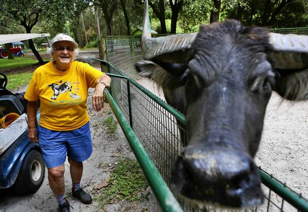 Coni Keyes, owner of Green Meadows Petting Farm in Kissimmee, looks on as Elmer the Asian Water Buffalo gets his close-up. The Osceola County attraction is celebrating its 25th birthday this weekend.