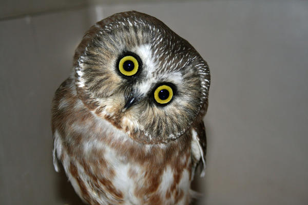 Sprite is a Northern Saw-whet owl who lives at Horizon Wings, a raptor rehabilitation and education center in Ashford. She came to the center in January after flying into a car in South Windsor. Northern Saw-whet owls are on the special concern list in Connecticut due largely to loss of habitat.