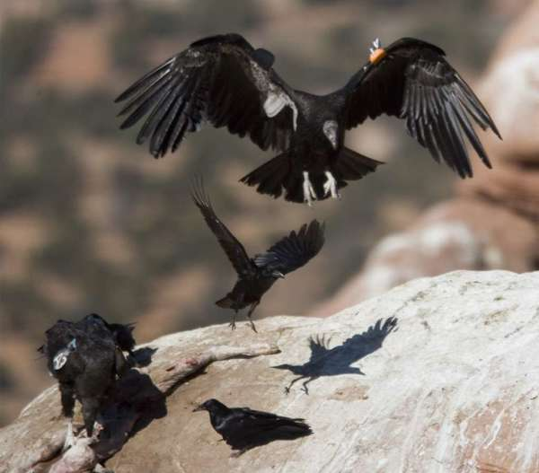 A California condor in the wild. Hunters are not allowed to use lead ammunition in condor ranges in California. A bill awaiting Gov. Jerry Brown's signature would extend that ban on toxic lead ammunition across all California hunting grounds.