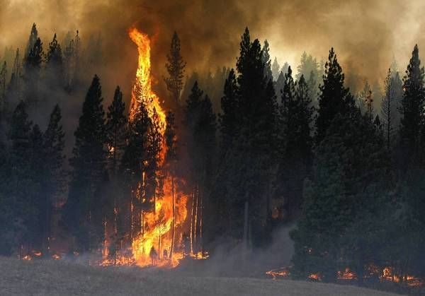 Flames consume the pine forest just off Evergreen Road near Yosemite National Park on Aug. 25. Firefighters set backfires to keep the Rim fire away from ancient trees.