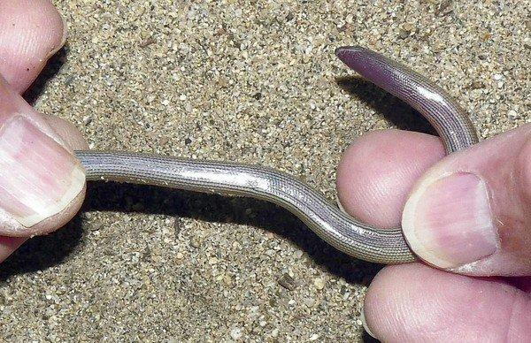 One of four new species of legless lizards recently discovered by researchers is displayed in a photo released by UC Berkeley.