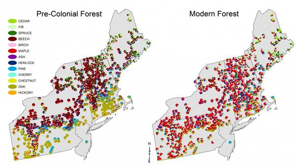 These maps show the relative abundance of pre-colonial Witness Trees and modern trees in 701 Northeast towns.
