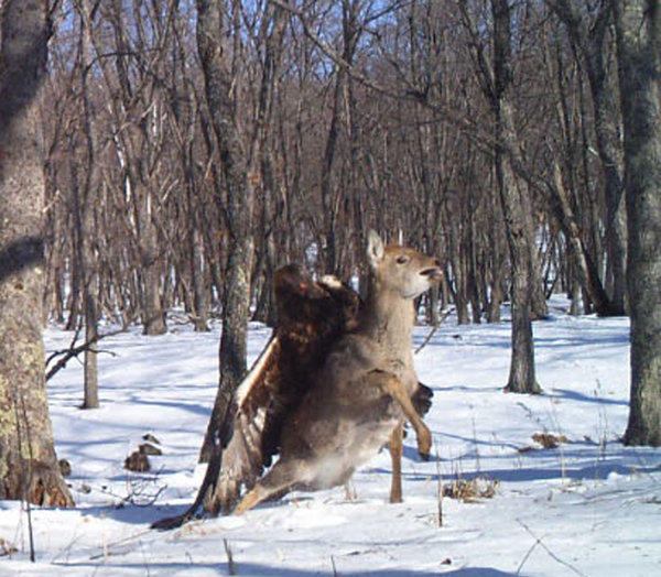 A camera trap set out for endangered Siberian (Amur) tigers in the Russian far east photographed something far more rare: a golden eagle attacking a young sika deer.