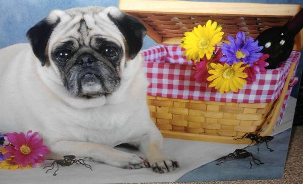 Pugs, a 4 year old pug, owned and loved by Cindy Newhart, 40 of Bethlehem.