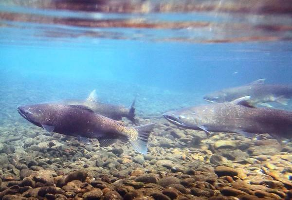 A chinook salmon in Oregon's McKenzie River. The fall chinook run in the Columbia River has been record-setting.