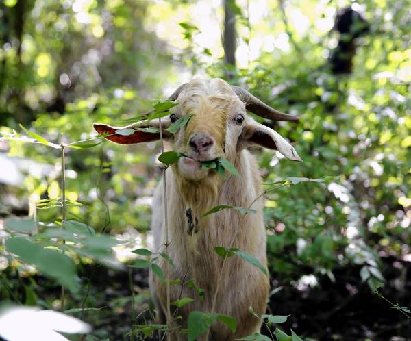 Goats chew up invasive plant species at a lower cost and with less pollution than traditional methods of eradication, leading Naperville to give the landscapers a try.