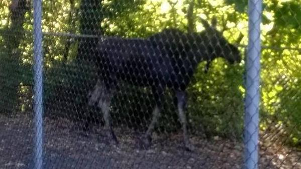 A moose spotted near Grove Street in New Britain.