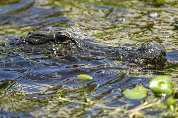 An alligator takes refuge in the deep water of a canal on the edge of a marsh at the Arthur R. Marshall Loxahatchee National Wildlife Refuge west of Boynton Beach.
