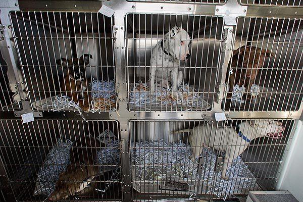 A file photo of pit bulls in a shelter in Riverside County, where leaders are considering a mandatory sterlization measure for the breed.