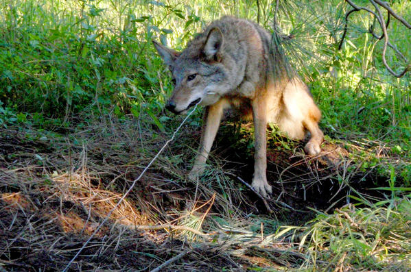 Los Angeles Councilman Mitch O'Farrell is proposing to ban snare traps such as this one.