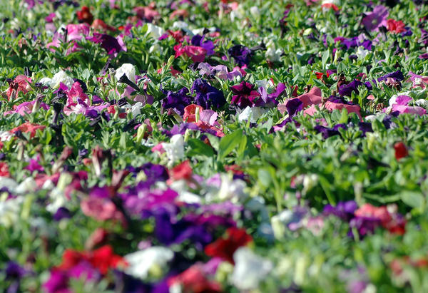 A sea of petunias fill a flatbed trailer waiting to be planted in May of 2013.