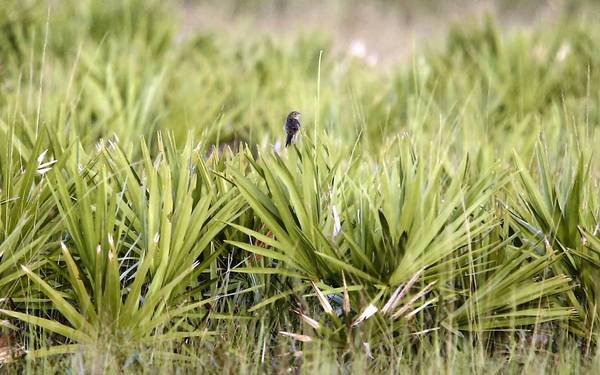 A grasshopper sparrow sits briefly on a palmetto plant. They spend much of their time on the ground where their nests are. FWC biologist Erin Hewett is studying the Florida grasshopper sparrow which is very low in numbers and the most endangered bird in North America. She searches for birds in the Three Lakes Wildlife management area south of St. Cloud.