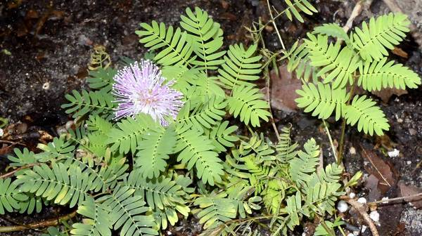 The sensitive mimosa pudica, purchased at the Wings and Wildflowers Festival last year, is thriving in its new home.